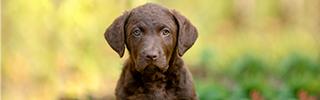 Chesapeake Puppies